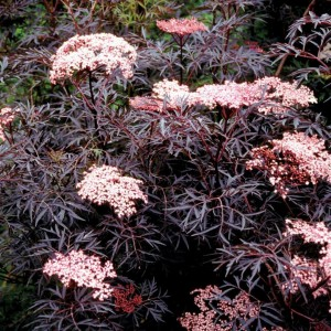 Sambuca nigra 'Black Lace'