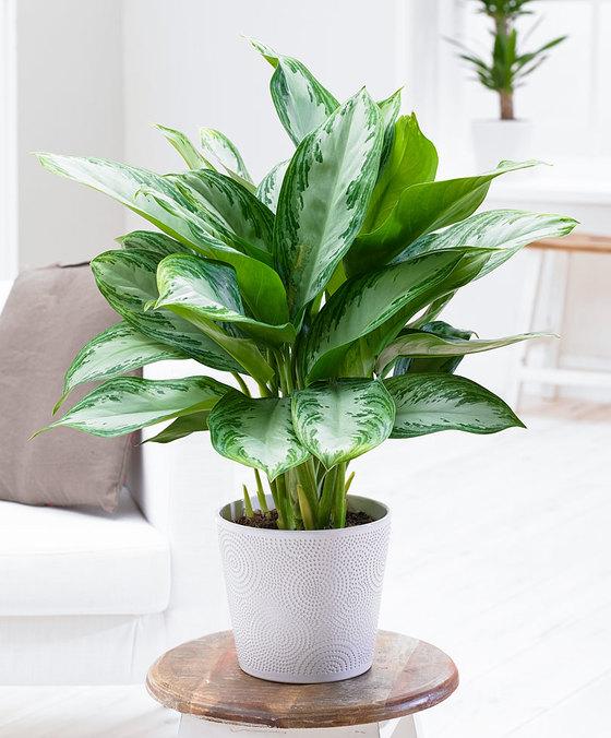 Agalonema. Klik op afbeelding voor meer informatie en om de plant te bestellen. Met actiecode PLANTPLEZIER ontvang je 10% korting op je bestelling.