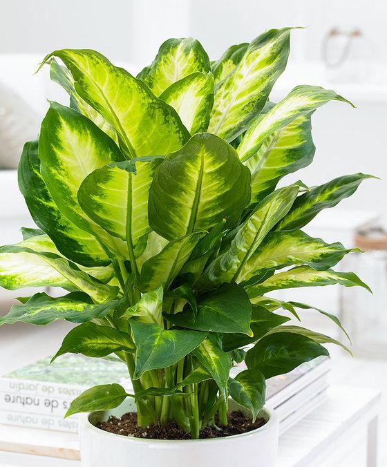 Dieffenbachia. Klik op afbeelding voor meer informatie en om de plant te bestellen. Met actiecode PLANTPLEZIER ontvang je 10% korting op je bestelling.