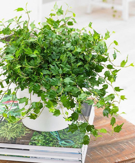 Hedera Jessica. Klik op afbeelding voor meer informatie en om de plant te bestellen. Met actiecode PLANTPLEZIER ontvang je 10% korting op je bestelling.