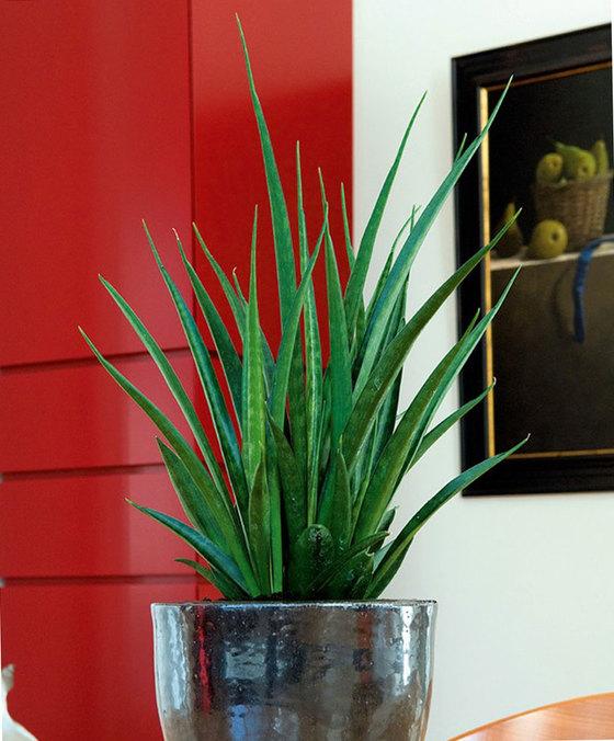 Sansevierea. Klik op afbeelding voor meer informatie en om de plant te bestellen. Met actiecode PLANTPLEZIER ontvang je 10% korting op je bestelling.