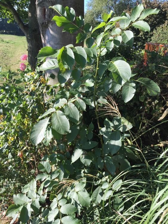 plantplezier - tip - walnoot