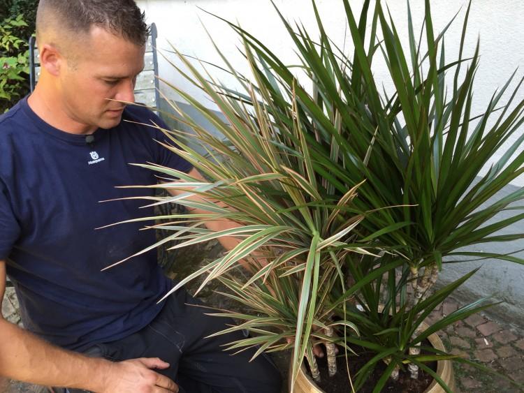 plantplezier - ivo - dracaena marginata