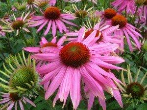 Echinacea, Purperen Zonnehoed