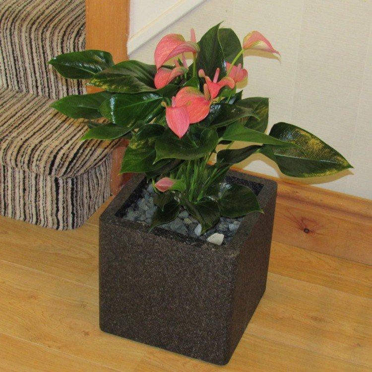 Anthurium weer in bloei krijgen - PlantPlezier.nl