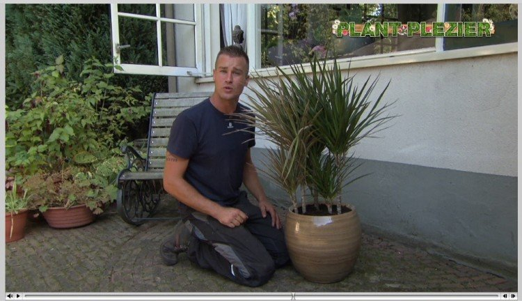 Dracaena vraag - PlantPlezier.nl