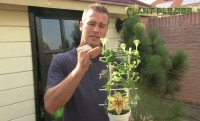 plantplezier - ivo - ceropegia - parachuteplantje