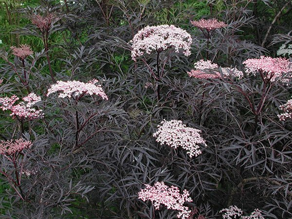 Sambuca 'Black Lace'