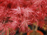 Acer Japanese Jewels 'Sumi-nagashi'