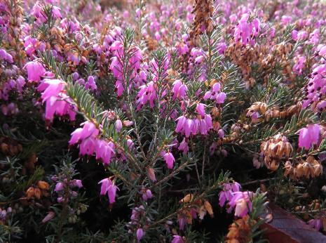 erica-carnea-rubra-flos-garnons-williams