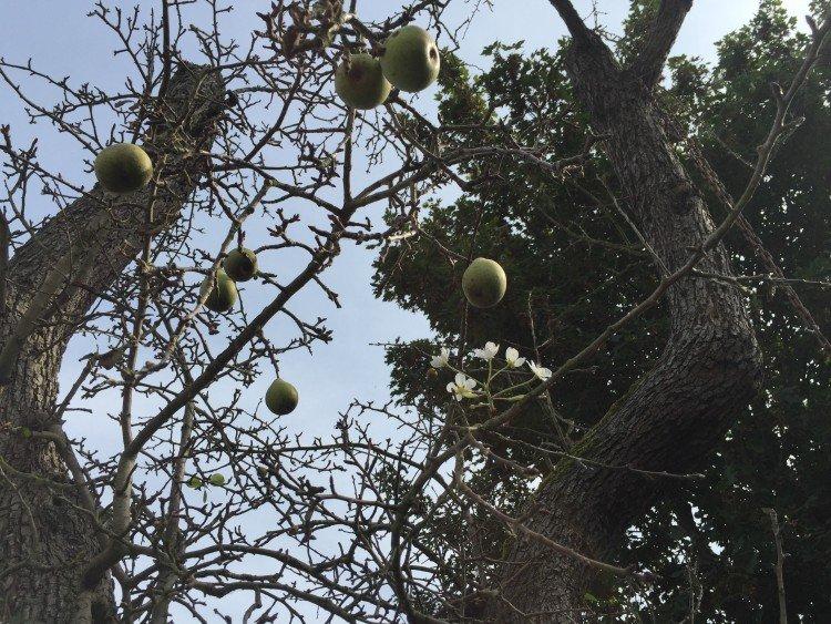 Bloeiende perenboom in het najaar - PlantPlezier.nl