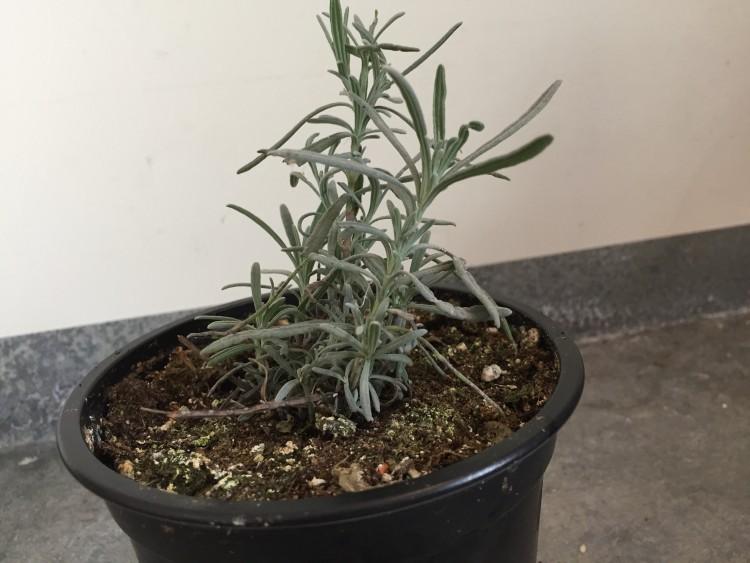 stekken - lavendel - plantplezier