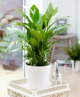 Spathiphyllum (Air So Pure).