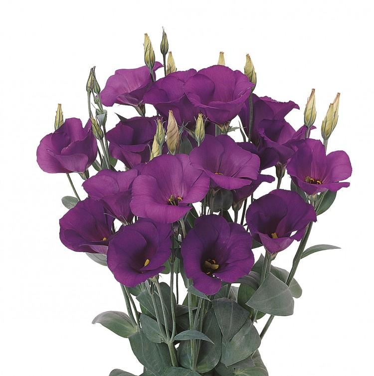 lisianthus-laguna-b-i-purple