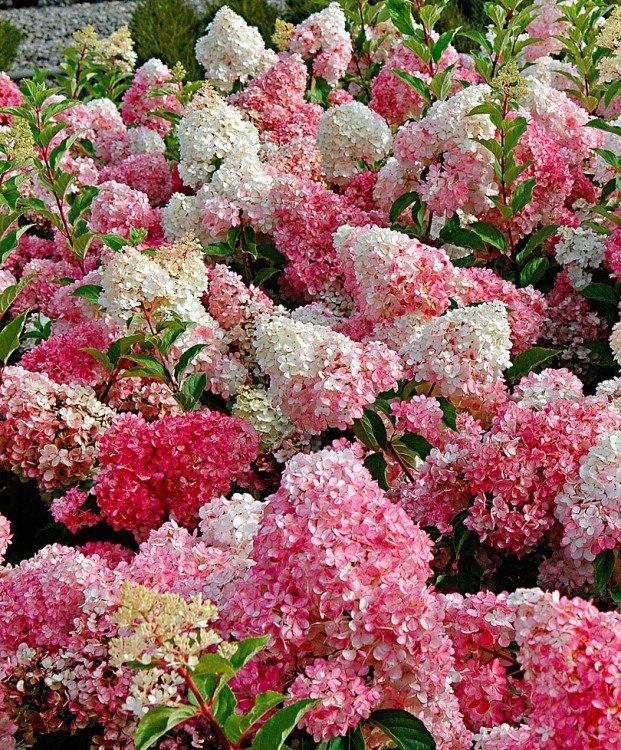 hydrangea-paniculata-vanille-fraise
