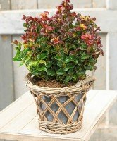 leucothoe-curly-red
