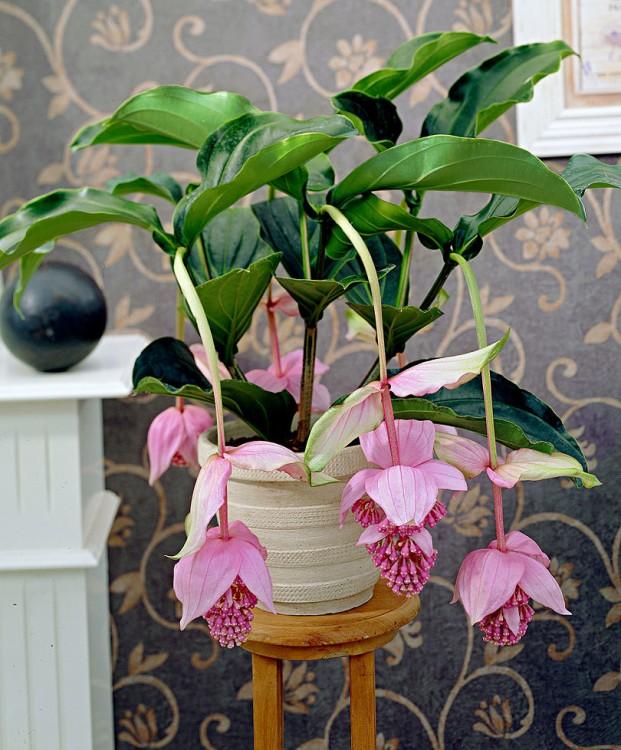 Medinilla flora bella
