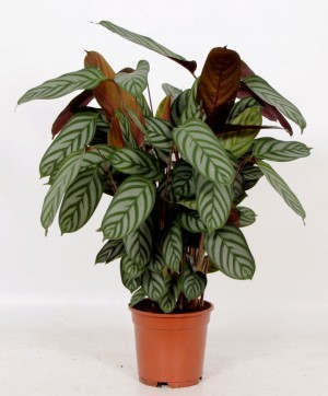 air-so-pure-calathea-compact-star