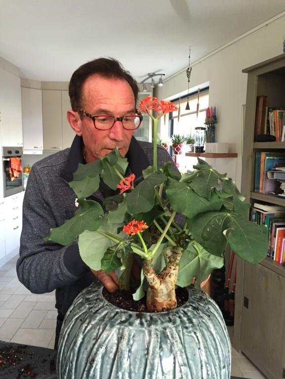 Jatropha tip van Rob: Als de Jatropha zijn blad laat vallen dan moet je direct stoppen met het geven van water. Doe je dit niet dan gaat de plant rotten. De plant heeft een rustperiode nodig. Vroeg in het voorjaar begint hij weer met het geven van prachtige bloemen, vervolgens verschijnt ook het blad.