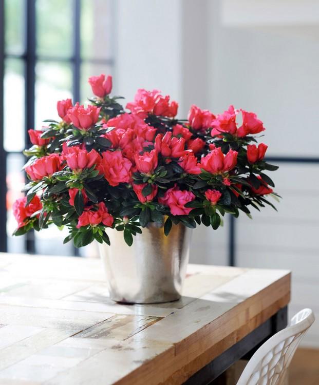 japanse-azalea-terra-nova-plant-rhododendron-simsii-terra-nova