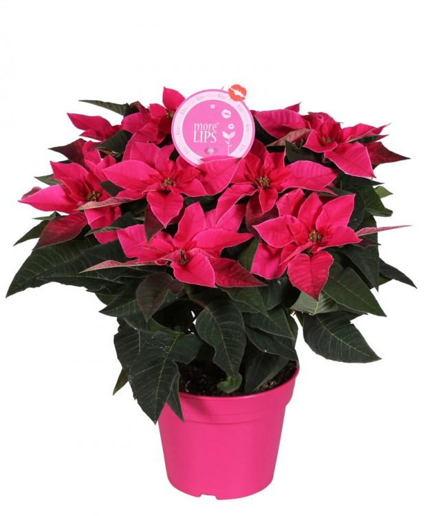 morelips-poinsettia-princettia-dark-pink-plant-euphorbia-pulcherrima-princettia-dark-pink
