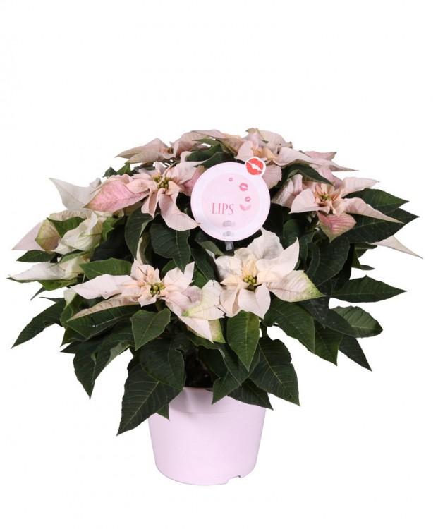 morelips-poinsettia-princettia-pearl-plant-euphorbia-pulcherrima-princettia-pearl