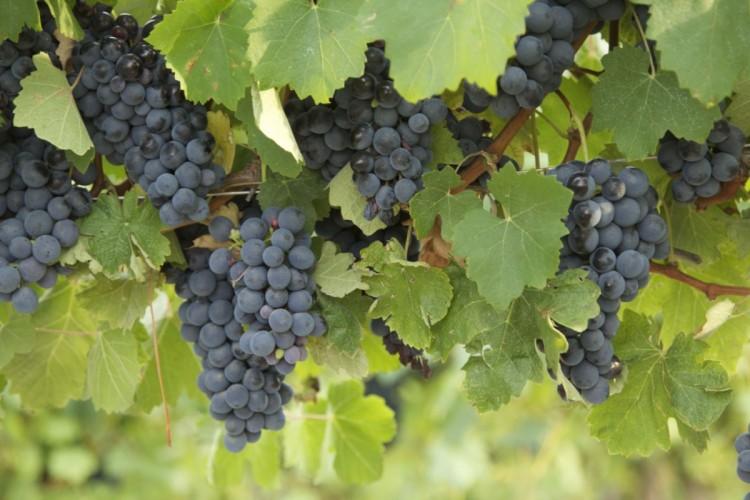 Wanneer snoei ik mijn druif? - PlantPlezier.nl