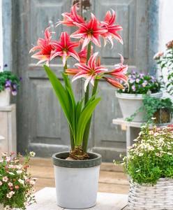 amaryllis-sweet-lilian-bloembol