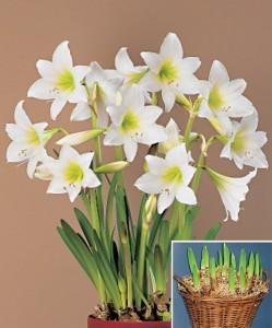 amaryllis-white-garden-bloembol