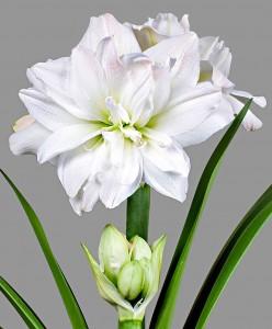 amaryllis-arctic-nymph-bloembol