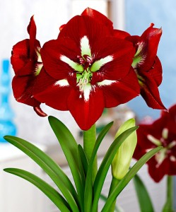 amaryllis-barbados-bloembol