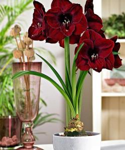 amaryllis-black-pearl-bloembol