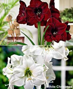 amaryllis-black-pearl-white-christmas-bloembol