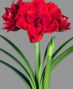amaryllis-cherry-nymph-bloembol