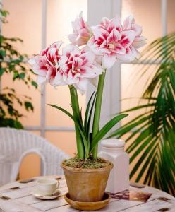amaryllis-elvas-bloembol