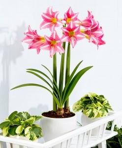amaryllis-estella-bloembol