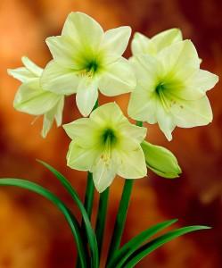amaryllis-lemon-star-bloembol