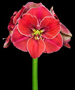 amaryllis-magical-touch-bloembol