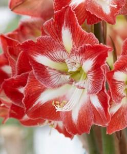 amaryllis-minerva-bloembol
