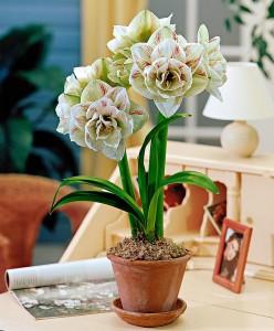 amaryllis-nymph-bloembol