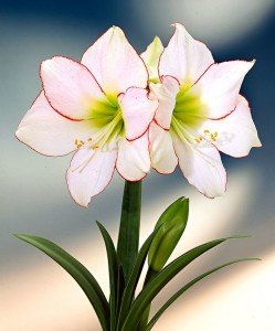 amaryllis-picotee-bloembol