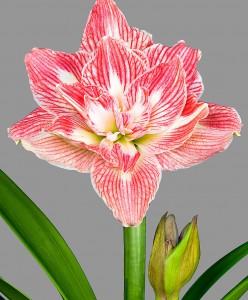 amaryllis-pretty-nymph-bloembol