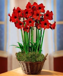 amaryllis-red-garden-bloembol