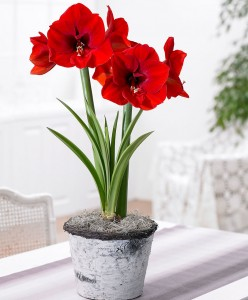 amaryllis-red-lion-bloembol-1