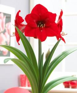 amaryllis-red-lion-bloembol