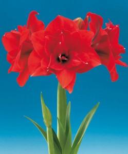 amaryllis-red-nymph-bloembol