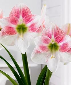 amaryllis-rosy-star-bloembol