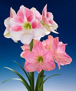amaryllis-rosy-star-sweet-star-bloembol