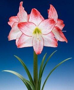 amaryllis-spotlight-bloembol