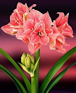 amaryllis-sweet-nymph-bloembol